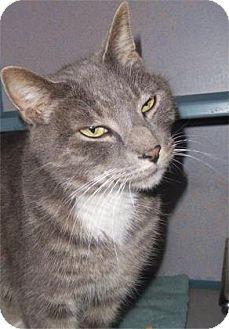 Domestic Shorthair Cat for adoption in Waupaca, Wisconsin - Jaspurr