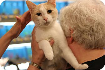 Domestic Shorthair Cat for adoption in Rochester, Minnesota - Moo Moo