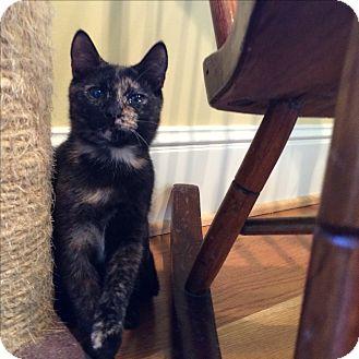 Domestic Shorthair Kitten for adoption in Columbus, Ohio - Nugget