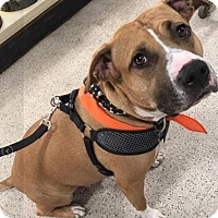 Adopt A Pet :: Alice - Mt. Clemens, MI