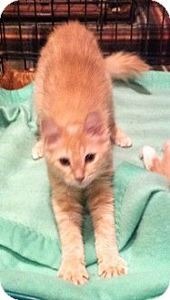 Domestic Longhair Kitten for adoption in Harriman, New York - Sammy