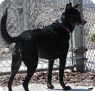 German Shepherd Dog Mix Dog for adoption in Jackson, Michigan - Samantha