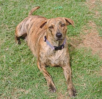 Plott Hound Mix Dog for adoption in Southlake, Texas - Eleanor