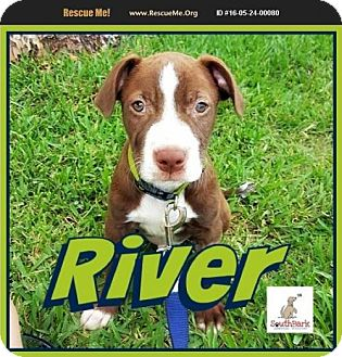 American Pit Bull Terrier Mix Puppy for adoption in Pensacola, Florida - River