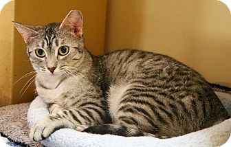 Domestic Shorthair Cat for adoption in Houston, Texas - Sparkle