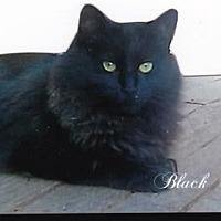 Adopt A Pet :: Black Bear - Calimesa, CA