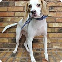 Adopt A Pet :: Loki - Benbrook, TX