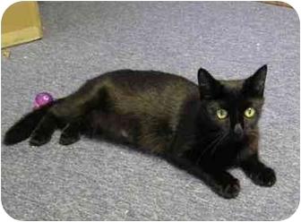 Domestic Shorthair Cat for adoption in Boston, Massachusetts - Gia