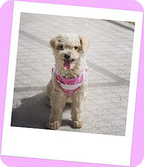 Maltese/Poodle (Miniature) Mix Dog for adoption in Corpus Christi, Texas - Temperance