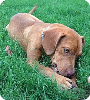 Beagle/Labrador Retriever Mix Dog for adoption in Somers, Connecticut - Ruby