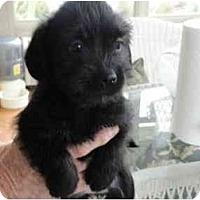 Adopt A Pet :: Inky - Glastonbury, CT