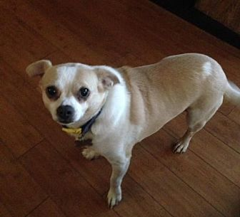 Chihuahua Dog for adoption in Rochester, Minnesota - Rio
