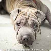 Adopt A Pet :: Sophia - pending - Mira Loma, CA