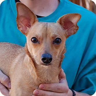 Chihuahua/Dachshund Mix Dog for adoption in Las Vegas, Nevada - Watson