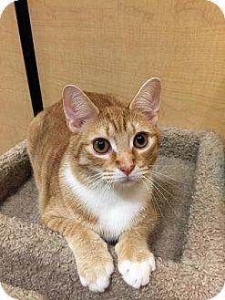 Domestic Shorthair Cat for adoption in Burlington, North Carolina - Jackson