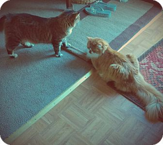 Maine Coon Cat for adoption in Sterling Hgts, Michigan - Bella and Tony (love us)