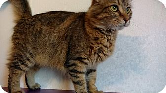 Maine Coon Cat for adoption in Hanna City, Illinois - Dobby
