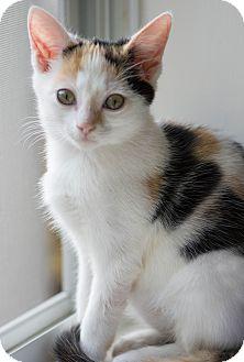 Calico Kitten for adoption in Myrtle Beach, South Carolina - Callie