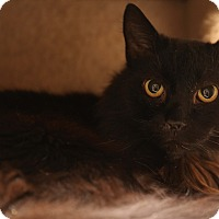Adopt A Pet :: Simba - Newtown, CT