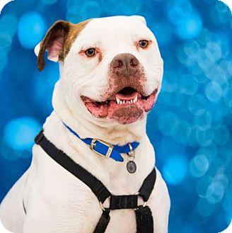 American Bulldog Dog for adoption in Columbus, Indiana - Champ