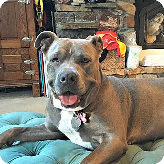American Pit Bull Terrier Mix Dog for adoption in Red Bluff, California - Callie