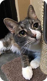 Domestic Shorthair Cat for adoption in Boynton Beach, Florida - Thunder
