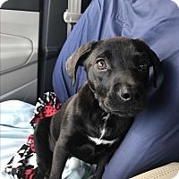 Labrador Retriever Mix Puppy for adoption in Glastonbury, Connecticut - Arthur~adopted!