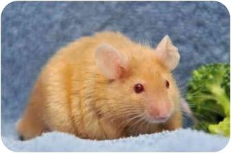 Mouse for adoption in Durham, North Carolina - Rocket