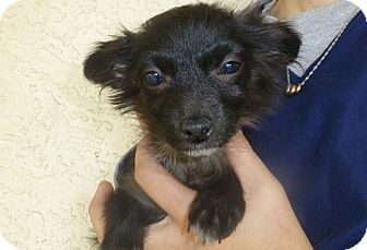 Pomeranian/Dachshund Mix Puppy for adoption in Oviedo, Florida - Peter