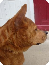 German Shepherd Dog/Chow Chow Mix Dog for adoption in Gainesville, Florida - Helen