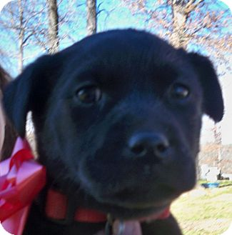 Labrador Retriever Mix Puppy for adoption in Manchester, Connecticut - Minny Lou  meet me 3/22