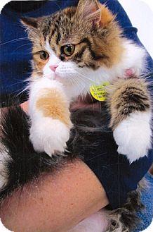 Persian Kitten for adoption in Davis, California - Babygirl Khatt