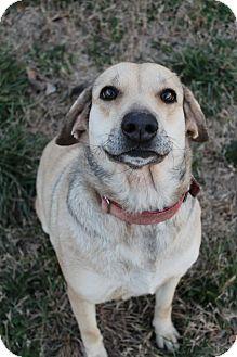Labrador Retriever/German Shepherd Dog Mix Dog for adoption in Wytheville, Virginia - Darling Darla