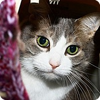 Domestic Shorthair Cat for adoption in Lombard, Illinois - Foxxy Cleopatra