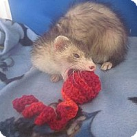 Adopt A Pet :: Kiara - Toledo, OH