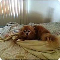 Adopt A Pet :: Roo - Chesapeake, VA