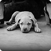 Adopt A Pet :: Bash - Orlando, FL