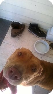 Pit Bull Terrier Mix Dog for adoption in Orlando, Florida - Bella