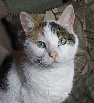 Calico Cat for adoption in Brighton, Missouri - May