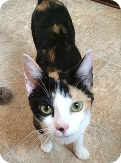 Domestic Shorthair Cat for adoption in Tampa, Florida - Catalina
