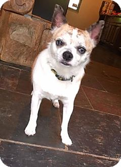 Chihuahua Dog for adoption in Pittsburgh, Pennsylvania - Dozer