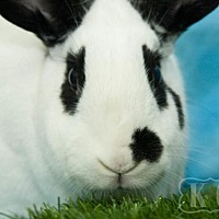 Adopt A Pet :: Flossie - Pflugerville, TX