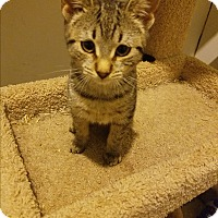 Domestic Shorthair Kitten for adoption in Medford, New York - Talia
