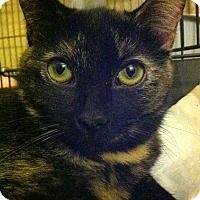 Domestic Shorthair Cat for adoption in Gilbert, Arizona - Nimira - Special Needs