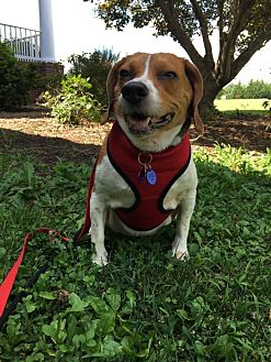 Beagle Mix Dog for adoption in Waldorf, Maryland - Sunshine Baltimore
