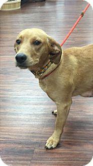 Beagle/Hound (Unknown Type) Mix Dog for adoption in McKinney, Texas - Dani