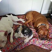 Adopt A Pet :: Brutus reduced fee! - Harrisonburg, VA