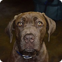 Adopt A Pet :: Honey - Austin, TX