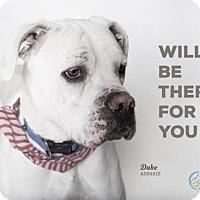 Boxer/American Bulldog Mix Dog for adoption in Camarillo, California - DUKE