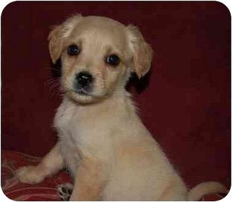 Spaniel (Unknown Type)/Labrador Retriever Mix Puppy for adoption in Chula Vista, California - Winston